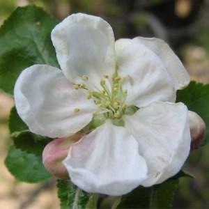 AAA blossom 400 x 400 pixels