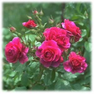 AAA Rose pic 400 x 400 pixels